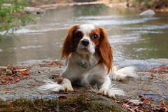 Lady Lucy at the River (UGArdener) Tags: river georgia lucy cavalier blenheim northgeorgia cavalierkingcharles wetrock chestatee chestateeriver ladylucy