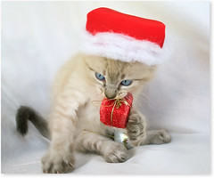 Merry Christmas  ( +3 photos) (Fernando Felix) Tags: christmas portrait pet cats cute topf25 face look natal cat navidad poser kitten funny sweet tabby kitty k
