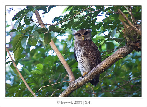1004.2 Owl - Barred Eagle Owl ... natural one