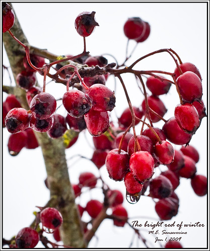 The bright red berries of winter