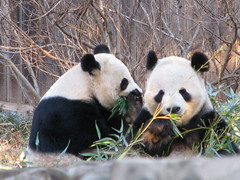 "Mei: ""Pssst, did you hear the latest news, Tian?"" (Tai.Shar) Tags: nationalzoo giantpanda tiantian meixiang taishan impressedbeauty"