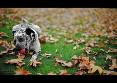 Day Five (Dustin Diaz) Tags: autumn dog fall leaves animal ball 50mm google nikon dof play bokeh 365 monday nikkor sparky googleplex featured project365 50mmf14g dustindiazcom d700 ehbd dedfolio