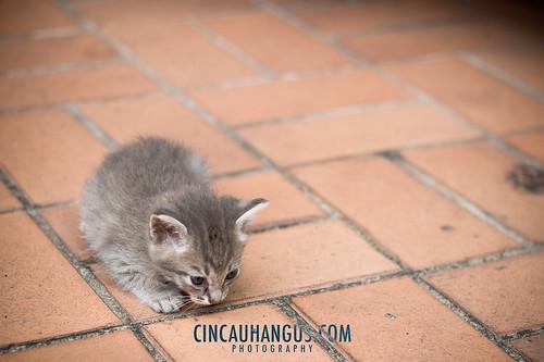 Furry Gray Kitten