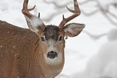 New Year's Resolution #6: Try to Look My Best (Peggy Collins) Tags: winter snow nature animal closeup stag wildlife deer snowing buck animalkingdomelite eightpoints eightpointer peggycollins