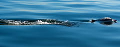streamlined dolphin (Grant and Caroline's pix) Tags: ocean california blue motion nature water digital swimming canon mammal eau hiking dolphin wildlife bleu streamlined common dauphin hermosabeach californie ocan naturewatcher