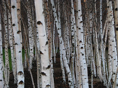 Birches (monkeymillions) Tags: wood trees forest birch trunks silverbirch saplings copse