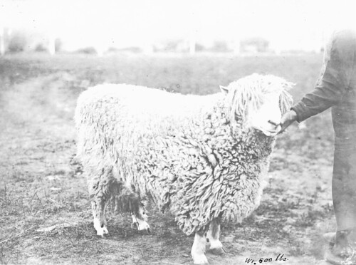 A 500 pound sheep