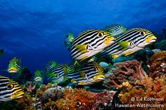 Curiosity (Ed Robinson (Maui)) Tags: micronesia palau plectorhinchusvittatus sweetlips grunt oriental thicklip underwater scbua diving reef ocean maui hawaii