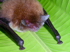 Disk-winged bat close up
