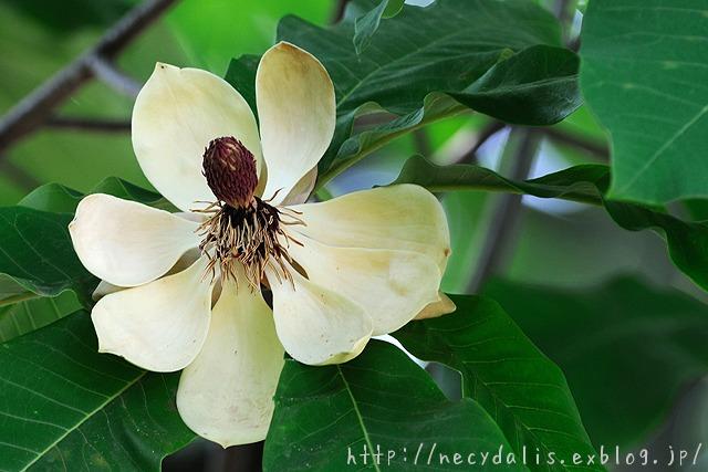 ホオノキ [Magnolia obovata]