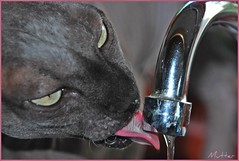 SO THIRSTY (mutter2009 *OFF*) Tags: blueribbonwinner nakedcats sphynxcats zair hairlesscats estremità blacksphynx