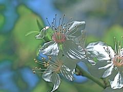 My Backyard (vajra) Tags: flowers white flower plumblossoms
