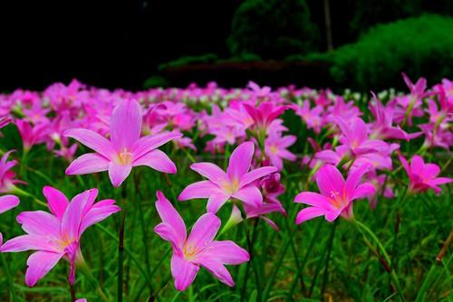 Kebun Bunga Flowers