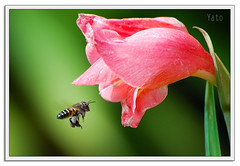 Perfect couple (Yato) Tags: macro bee flying flower 55200vr pink green insects nature action naturesfinest colourartaward nikon yato yato byyatoallrightsreserved lebah mostinteresting thebestofmyflickr mostfavedinmyflcikr