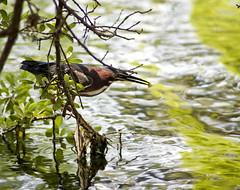 Green Heron fishing. (Timfphoto) Tags: fish nature amazing fishing texas houston urbannature 5d greenheron tamronaf70300mmf456ldmacro12 hermonpark