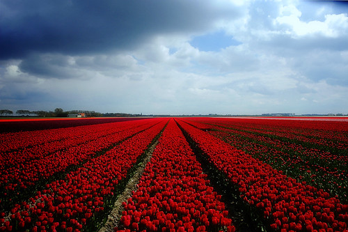 Tulips In Holland. Tulips from Holland