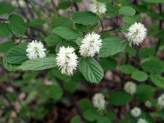 Fothergilla major 'Mt. Airy' (maggie_and_her_camera) Tags: horticulture maggieneely fothergillamajormtairy