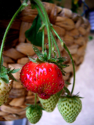 First ripe strawberry