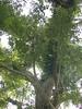 96.11.16竹崎鄉光華村茄苳風景區內的茄苳老樹DSCN3195