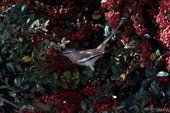 Calandria (2) (glspro) Tags: bird planta nature argentina animals fauna nikon sanluis pajaro pjaro d80 brillianteyejewel glspro shareyourtalent photosrus gustavosalgado crateu