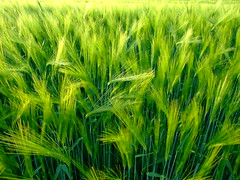 The wind that shakes the barley (xmyrxn) Tags: verde green field barley germany deutschland groen farming landwirtschaft cereal feld finepix nrw fujifilm grn cereals soe acre mnsterland borken acker halm westfalen getreide gerste unreif hren hre ackerbau thewindthatshakesthebarley aplusphoto xmyrxn