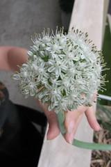 cipolla (1)