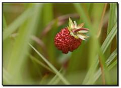Wild Strawberry (arcvascular) Tags: red wild grass fruit garden nikon bokeh strawbery d80 arcvascular