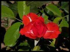 Por abrir (Canoso.) Tags: flower fleur rose sevilla flor rosa blume insekt insecte insecto pilas canoso saveearth wonderfulworldofflowers flickrflorescloseupmacros