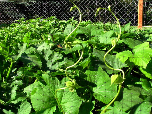 Plant and grow pole beans bush beans lima beans and other legumes