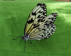idea leuconoe-Paper KiteSM