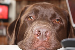 Can I have what's in the bowl? (gotbob) Tags: dog closeup canon eyes lab chocolate begging slidr