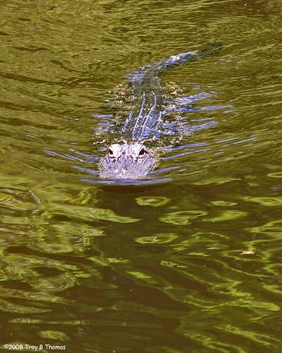 Gator1_20080705