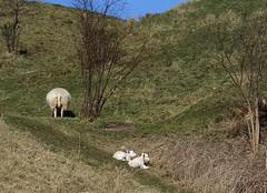 Babies behind or Behind & babies (Jaedde & Sis) Tags: blue white green wool babies sheep lamb behind fleece r challengeyouwinner photofaceoffwinner pfogold