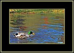 Always behave like a duck... (micky mb) Tags: lake texas ducks mallards mywinners betterthangood nikond300 mickymb
