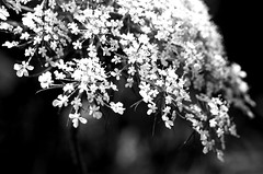 Pretty In White (aplseed photography) Tags: flowers bw macro beauty weeds raw dof bokeh ps acr mygarden waterdroplets actions canon60mm28