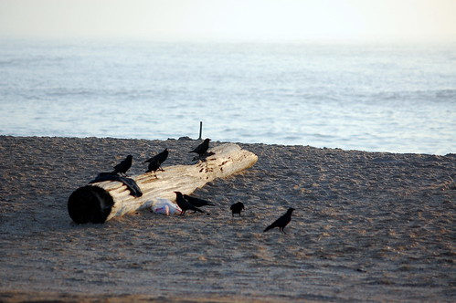 Blackbirds on log