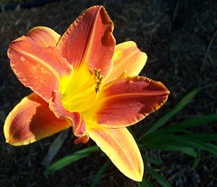Orange and yellow daylily