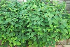 Backyard Triffid - 003 (failing_angel) Tags: foliage shrubbery triffid