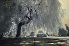 aIMG_1941 (paddimir) Tags: trees tree ir scotland infrared paisley