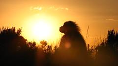 Beautiful Sunset (jtkerb) Tags: sunset baboon ethiopia gelada guassa