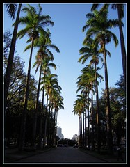 Royal Palms (Glaucia_Glaucia_Glaucia) Tags: street city cidade brazil urban tree minasgerais green nature brasil belohorizonte rua bh royalpalm praadaliberdade mywinners nikoncoolpixs600