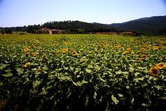 Open (Jen SFO-BCN) Tags: spain sunflowers catalunya girasol 1022 girasoles baixemporda madremanya