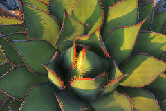 Cactus Flower? (beaujinka) Tags: cactus sandiego torreypinesstatepark fiveflickrfavs