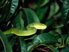 Snake (Sachin Tomar's) Tags: snakesofindia indiansnakesindiansnakes typesofindiansnakes snakeinindia