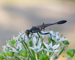 Parasitic Wasp on Garlic Chives
