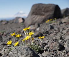 Mt. Adams Flowers (shellaknoll) Tags: florafauna