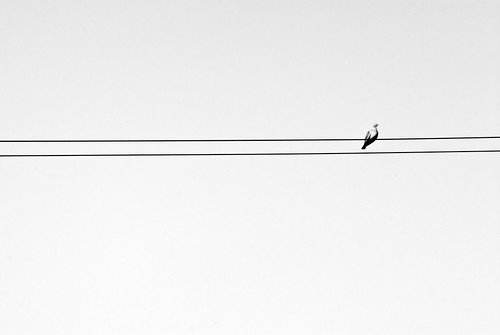Pigeon on telephone wires