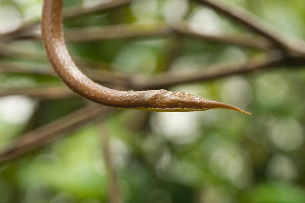 Male Madagascan Leaf-nosed snake (Langaha madagascariensis) - Exotic Reserve Peyrieras, Madagascar