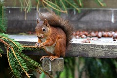What? This is my nut! (*Michelle*(meechelle)) Tags: friends scotland squirrel photobook explore 1001nights 2008 redsquirrel kincraig kingussie invernessshire naturesfinest blueribbonwinner highlandwildlifepark specanimal bokehlicious abigfave anawesomeshot impressedbeauty heartawards saariysqualitypictures oldheartawards