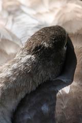 gkt_IMG_9711CL (somersetman) Tags: wells somerset swans cygnets